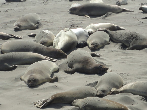 The Elephant Seals at Piedras Blanca, Cambria California