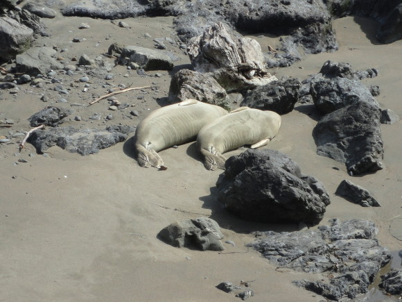 The Sea Elephants of the Piedras Blanca