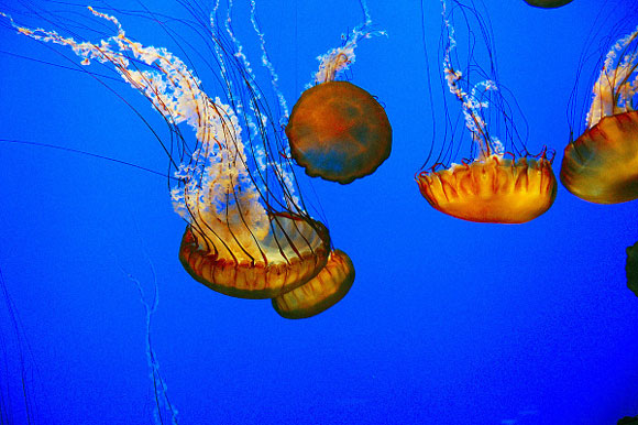 Jellyfish in the Monterey Bay Aquarium