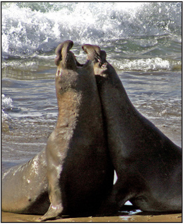 Elephant Seal Bulls doing batlle on the Piedras Blanca